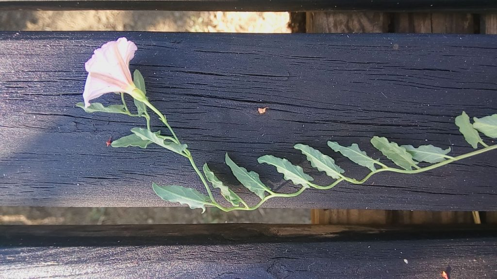 how to get rid of invasive weeds, looks quite beautiful, but bindweed is too agresive.