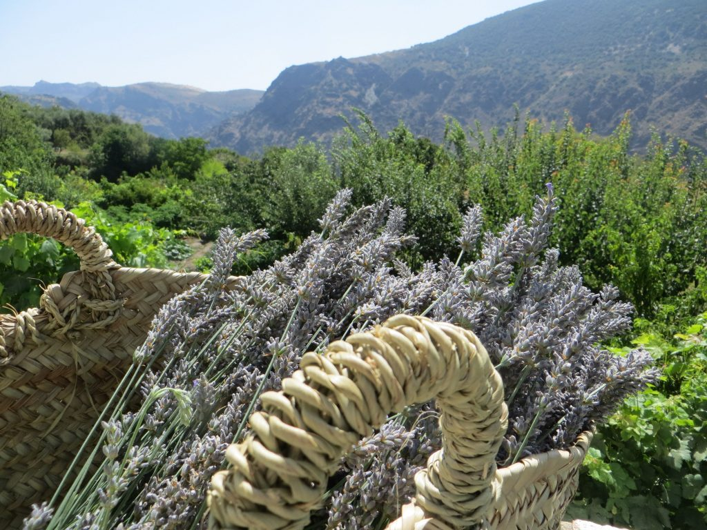 lavender harvest of lavandin
