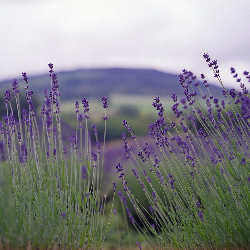Propagating lavender by cuttings, is that really that easy?