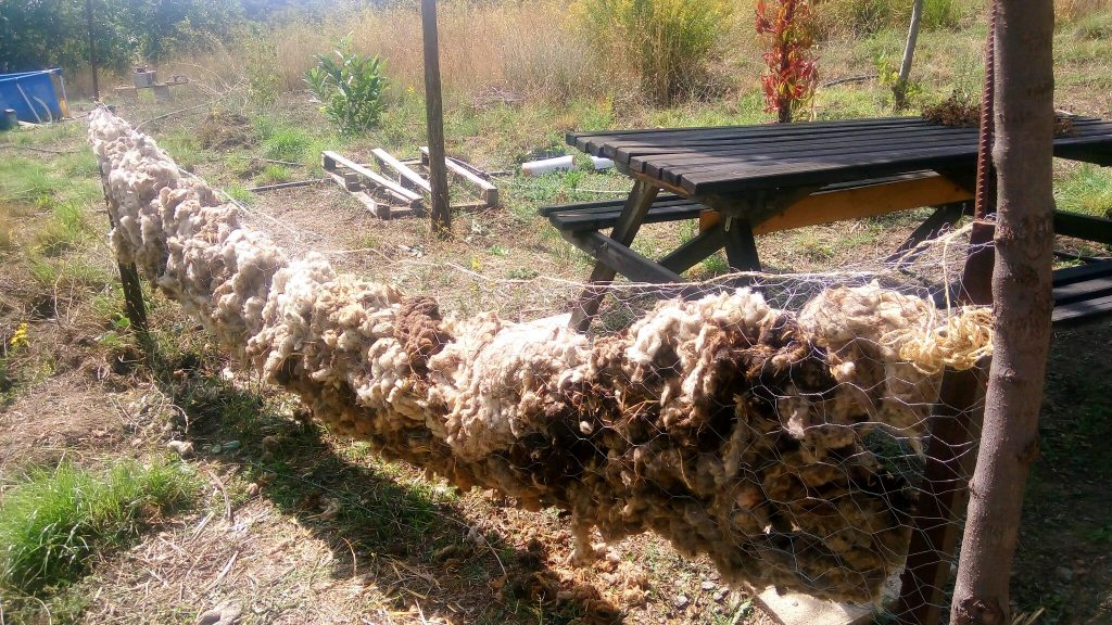 Cleaning sheep's wool on my land: let time do the first work