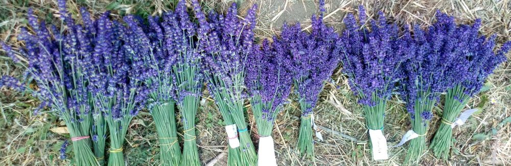 Essential Blue lavender