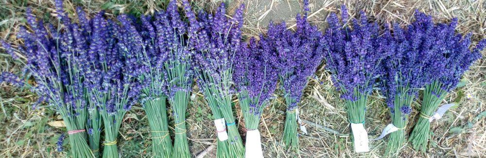 Essential Blue lavender