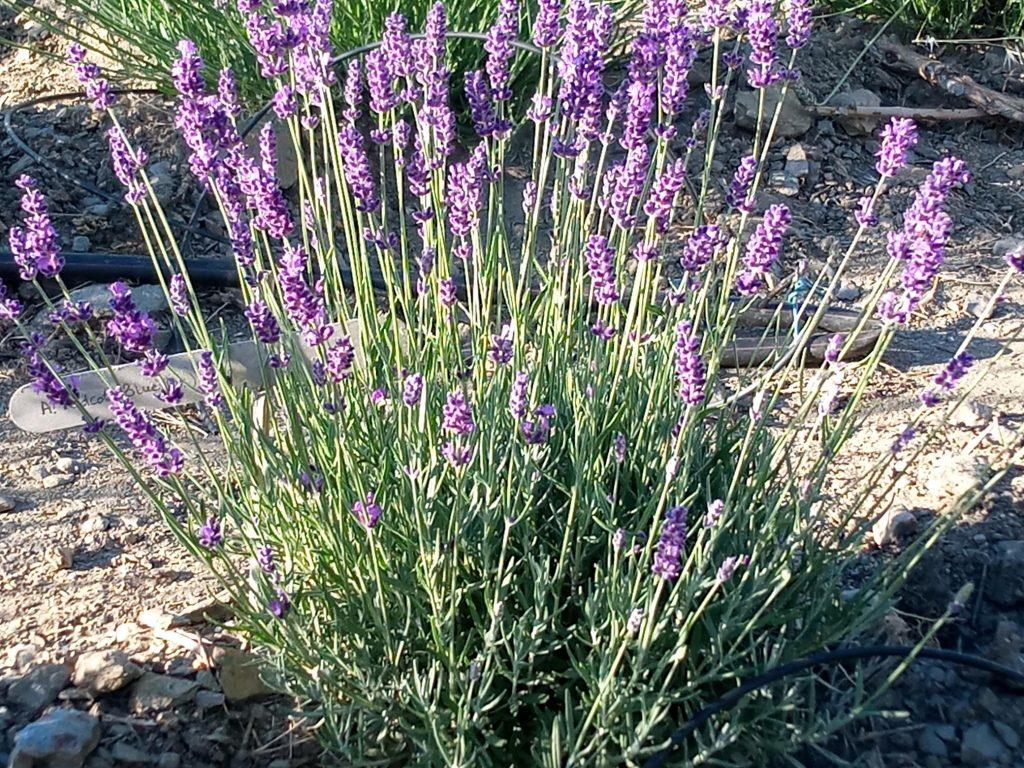harvesting hidcote blue lavender