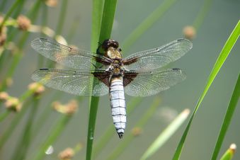 Essential.blue nature dragonfly