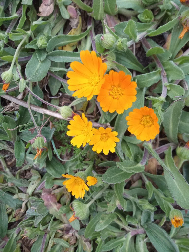 Field marigold Calendula arvensis