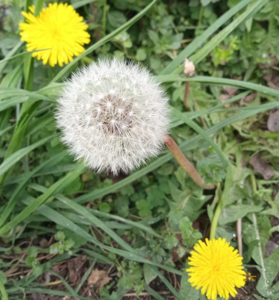 wild fowers dandelion
