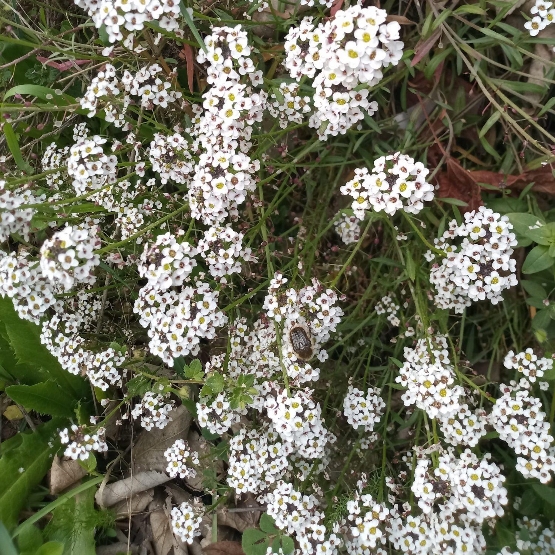 Wild flowers Sweet Alison