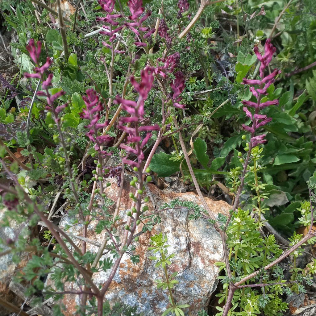 Fumaria officinalis wild flowers