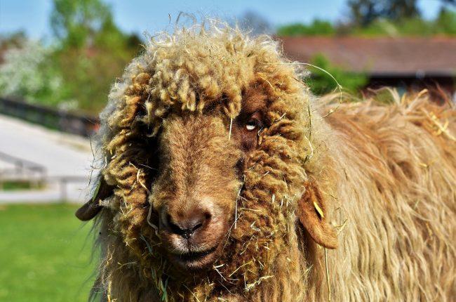 washing raw sheep wool