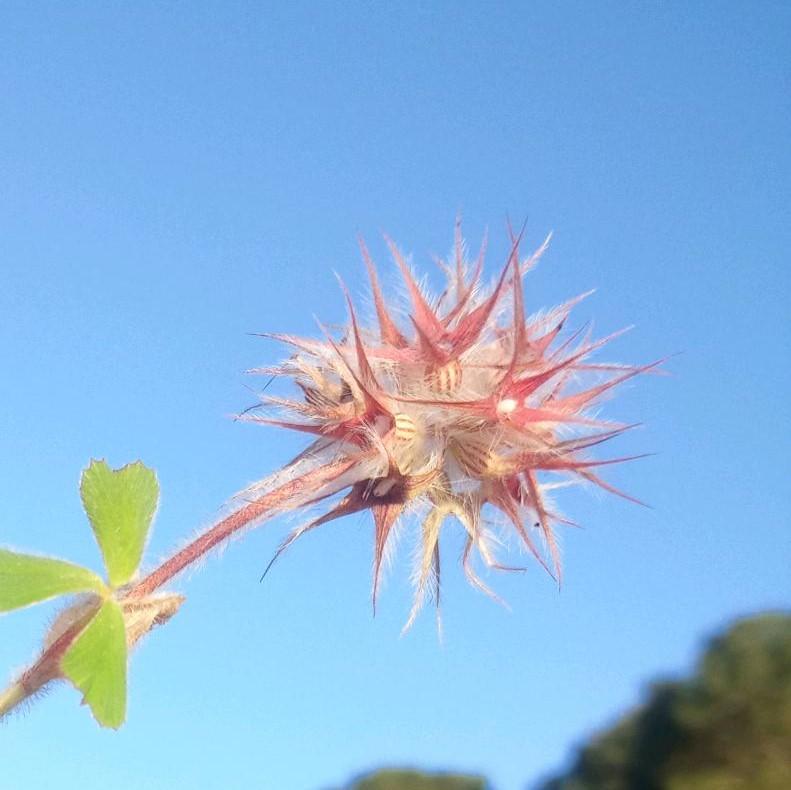 Starry clover-trifolium stellatum