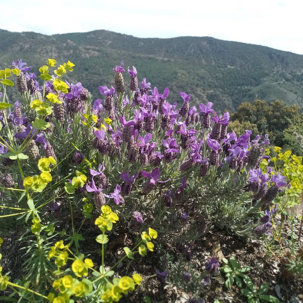 Topped lavender-lavender stoechas
