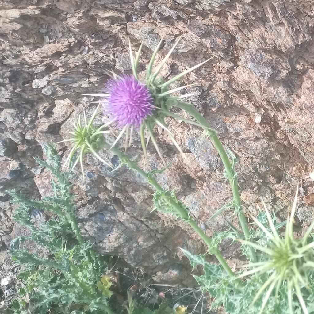Variegated artichoke-Silybum marianum