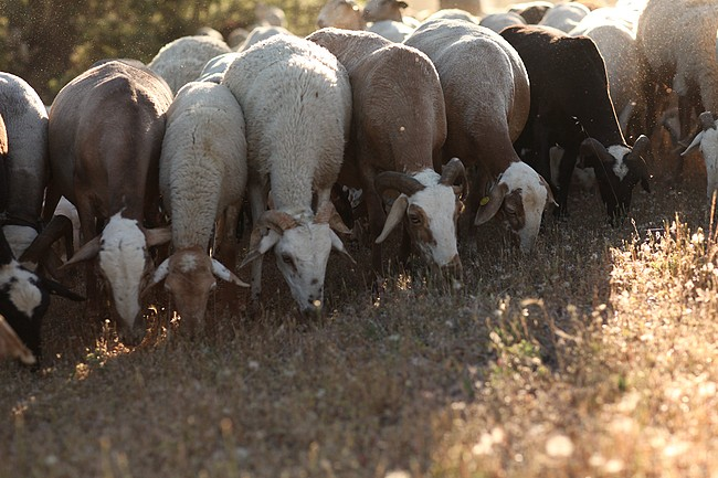 How to put sheep's wool back into use?