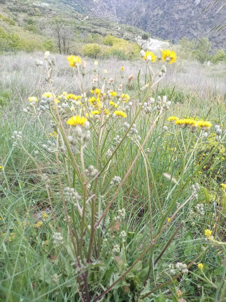 Crepis dandelion - crepis vesicaria