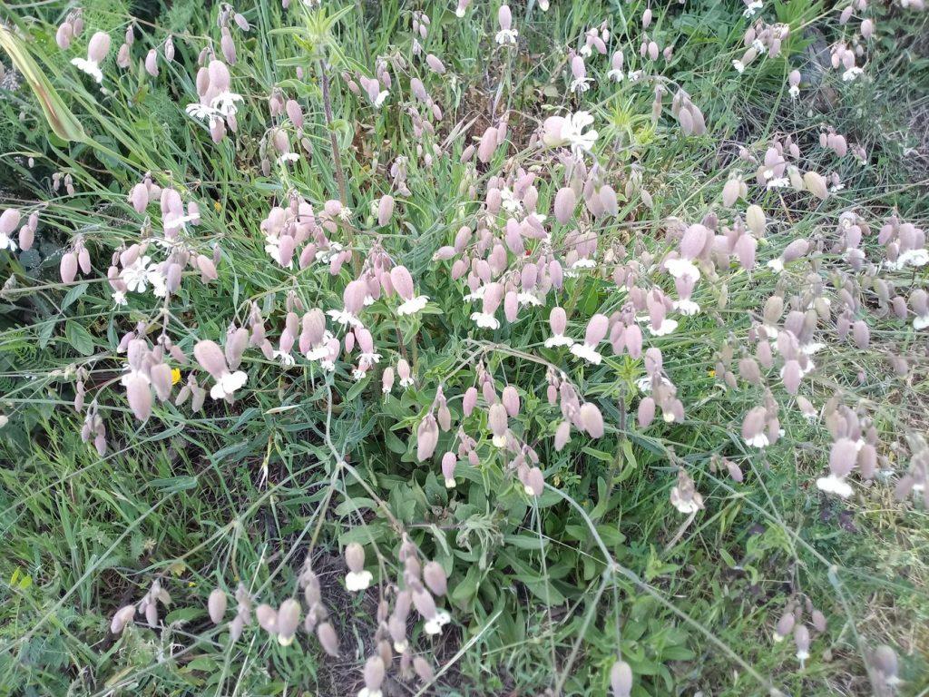 Bladder campion - Silene vulgaris
