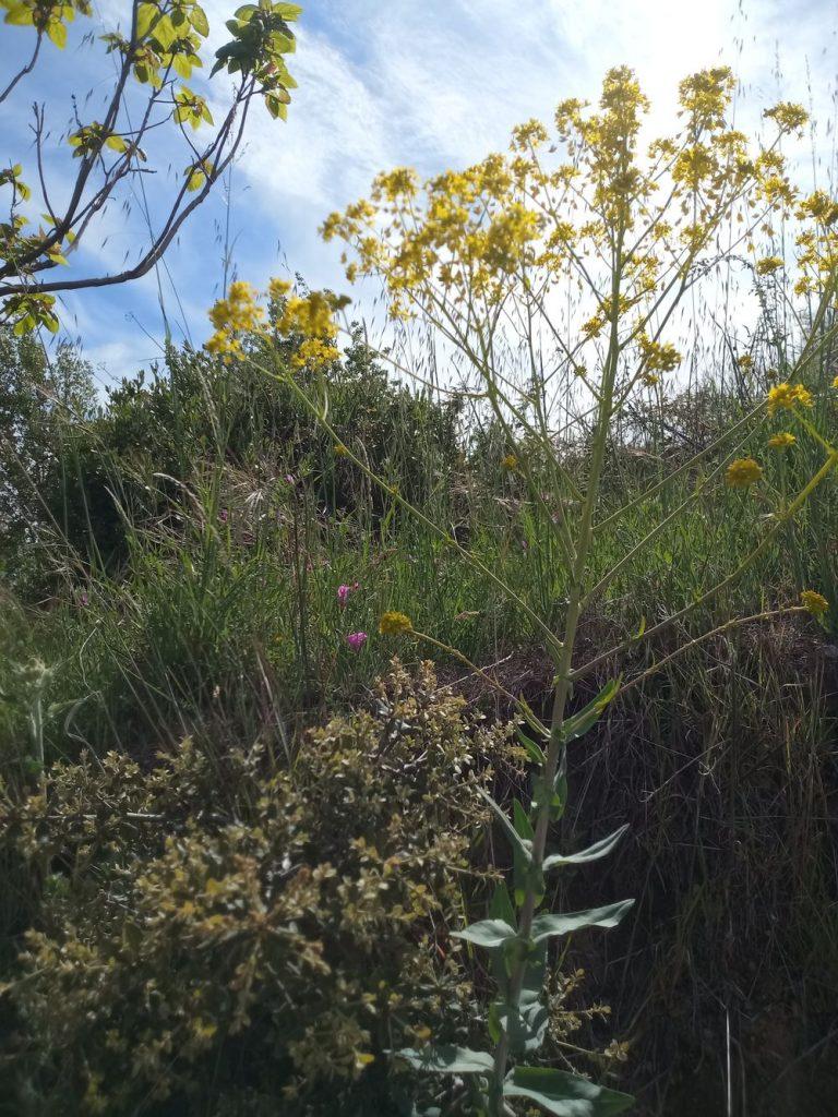Dyers woad - Isatis tinctoria