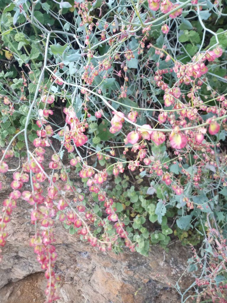 French sorrel - Rumex scutatus