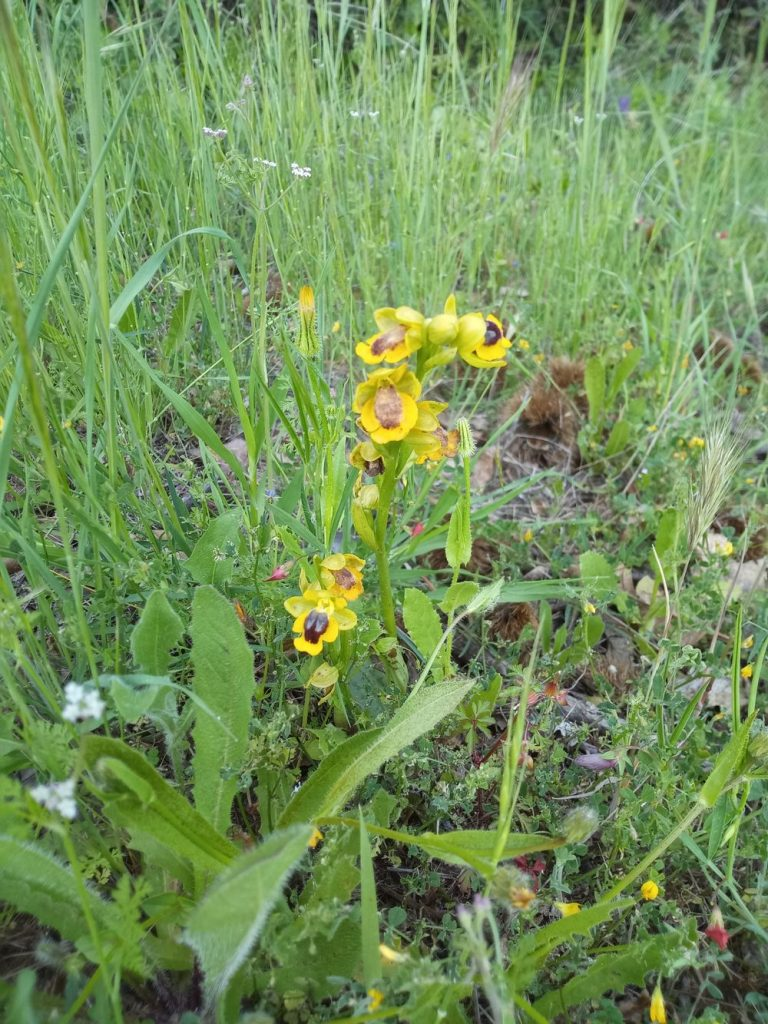 Yellow Ophrys orchidaceae - Ophrys lutea