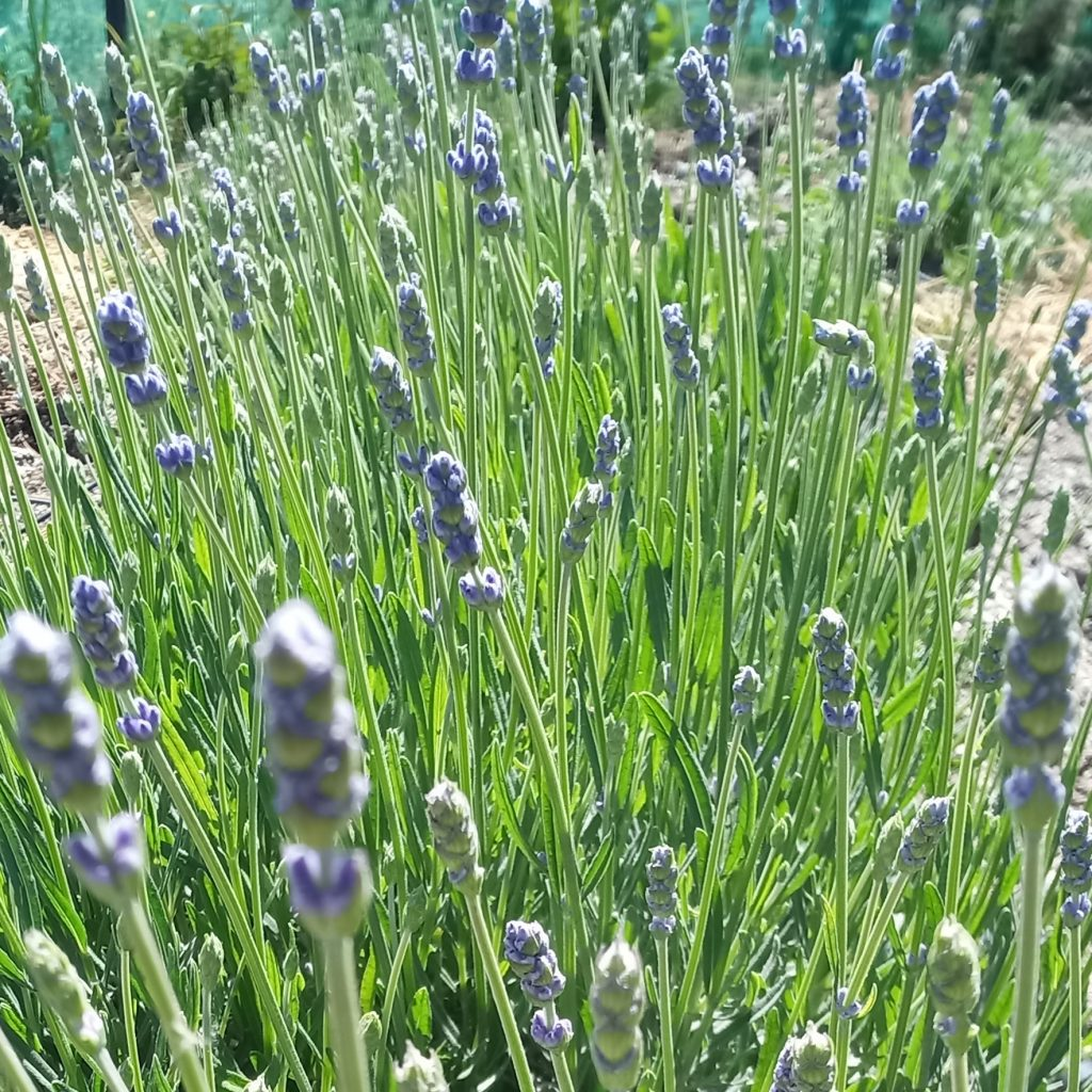 When does lavender bloom?