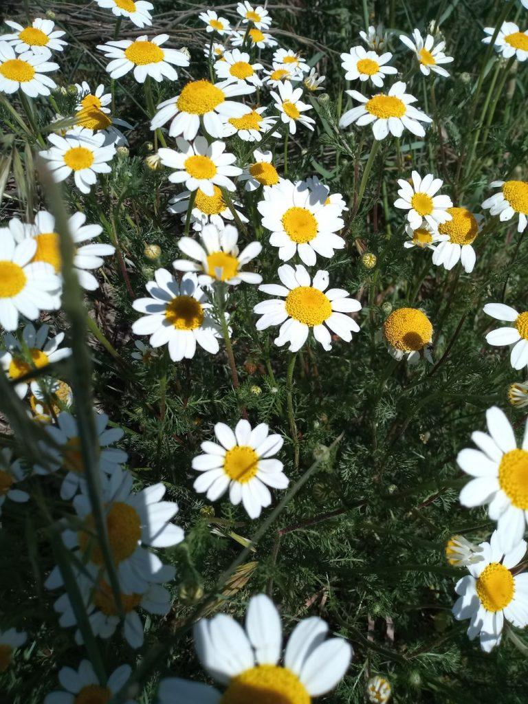 Field chamomile - antemis arvensis
