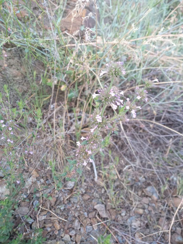 Garden thyme - Thymus vulgaris