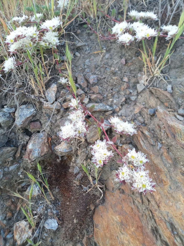 Silver nailroot - Paronychia argentea lam