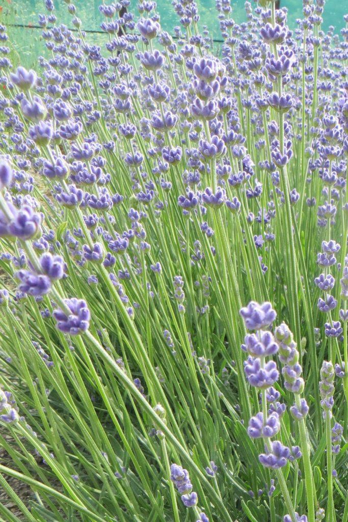 lavender essential.blue